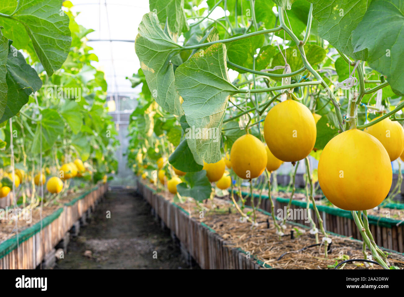 Orgánicos frescos melón amarillo dorado o melón listo para cosechar en el vivero de la granja de melón. Agricultura y granja de frutas concepto Foto de stock