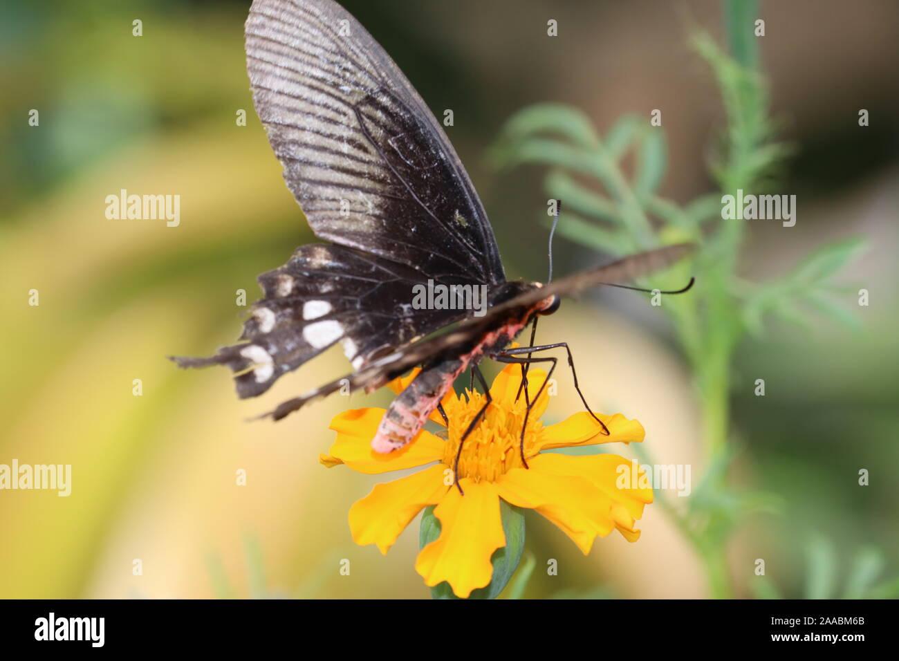 Ranga Athyma encaramado sobre mariposas flor caléndula.chupar néctar, polen de la caléndula. Foto de stock