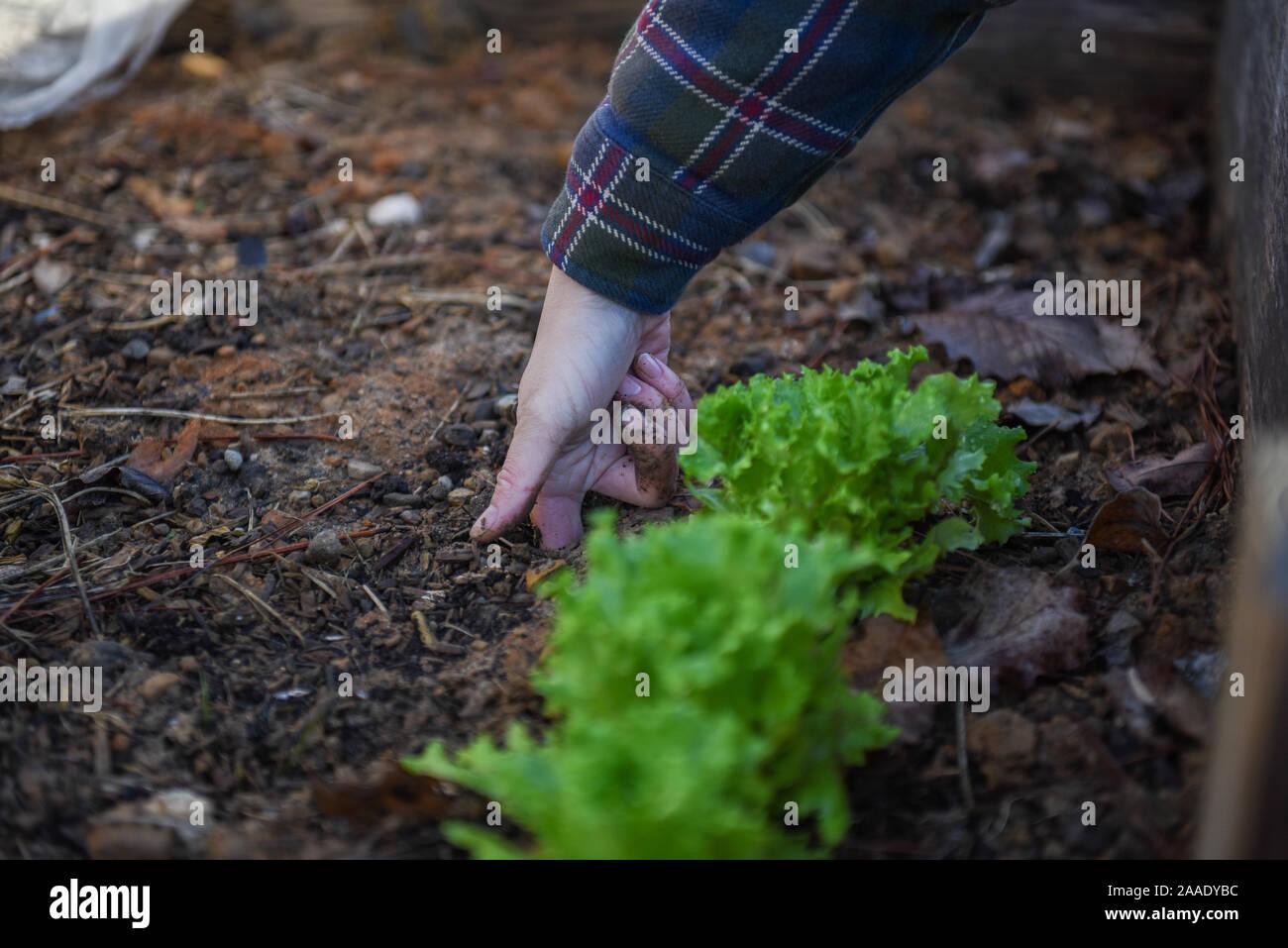 Fotos de jardinería de invierno en un jardín local centrado en la sostenibilidad y la seguridad alimentaria en la comunidad. Foto de stock