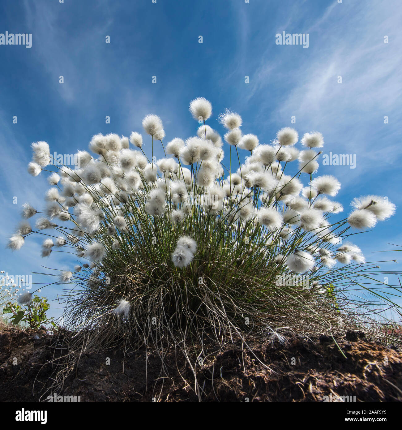 Im Wollgras Moor, Eriphorum vaginatum, Foto de stock