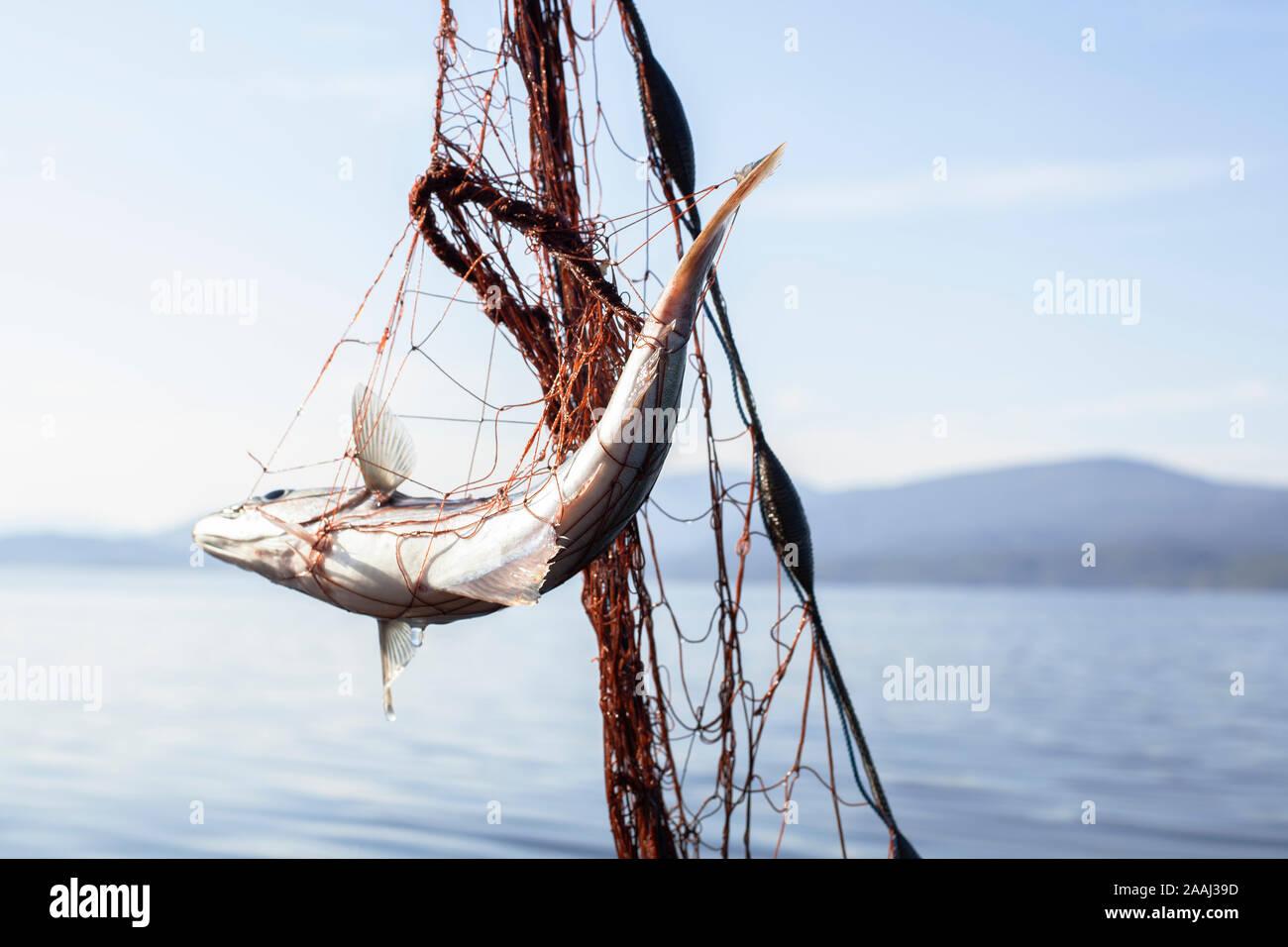 Peces enredados en redes de pesca Foto de stock