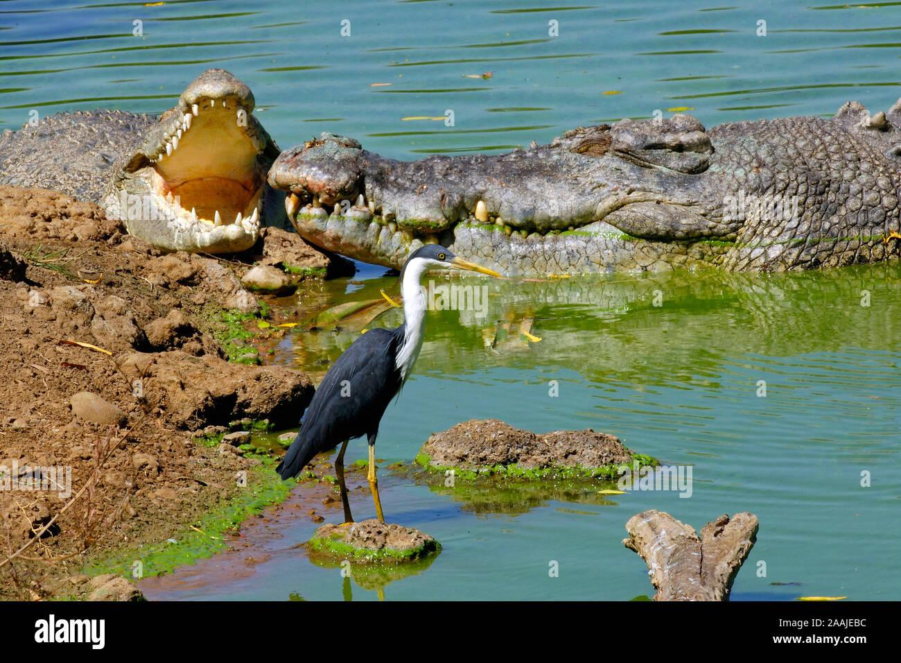 Elsterreiher, Reiher, Ardea Picata, und Leistenkrokodil, Salzwasserkrokodil, Crocodylus porosus, Kakadu NP, Nothern territorio, Australien Foto de stock