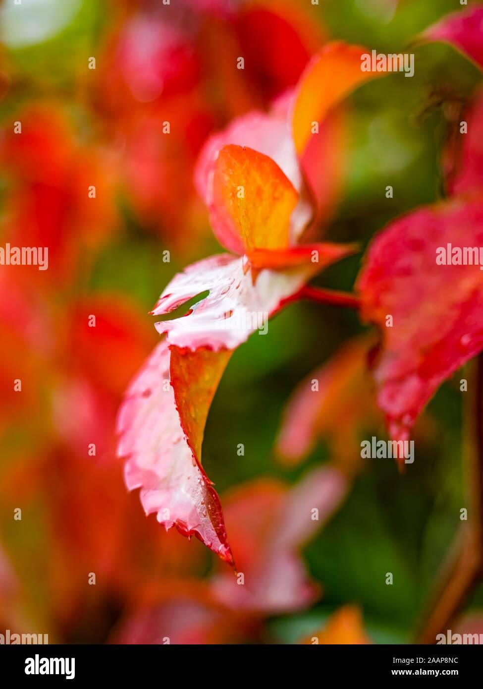 Hojas rojas después de la lluvia una hoja aislada Foto de stock