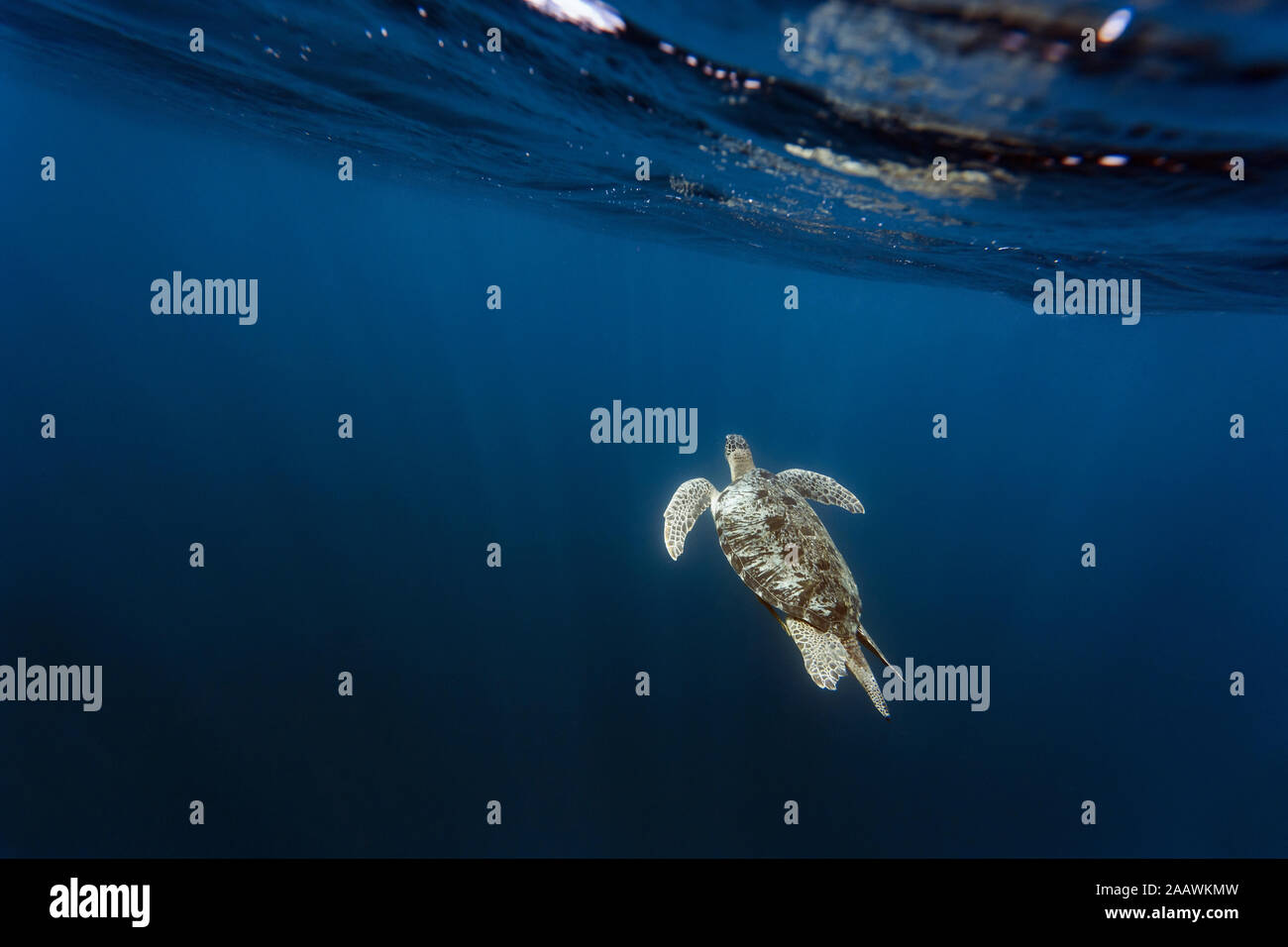 Indonesia, Bali, vista submarina de la tortuga solitario cerca de la superficie de natación Foto de stock