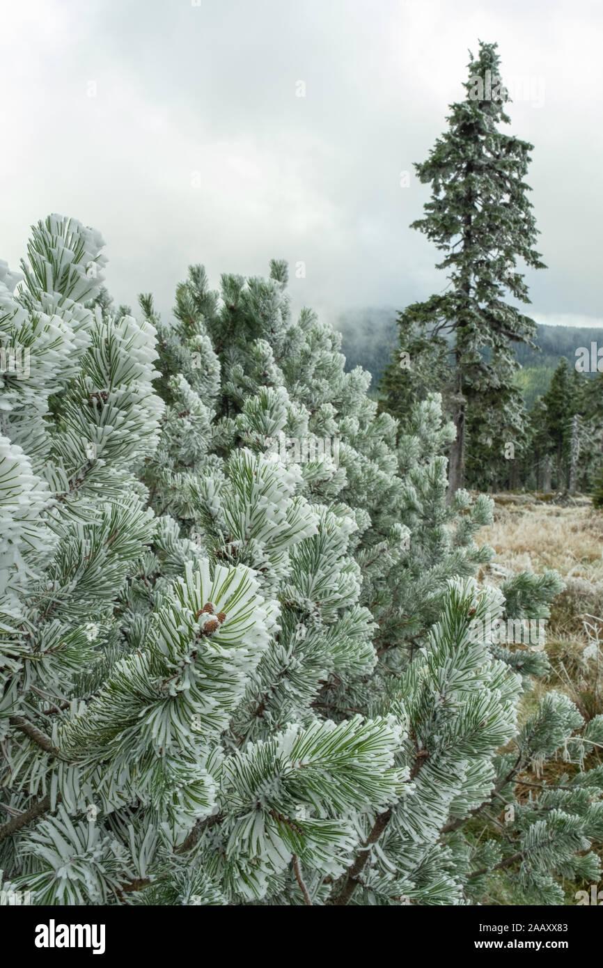 Mañana de invierno con niebla en el bosque de pinos en las montañas. Primera nieve sobre las ramas de coníferas. Paisaje de Navidad. Foto de stock