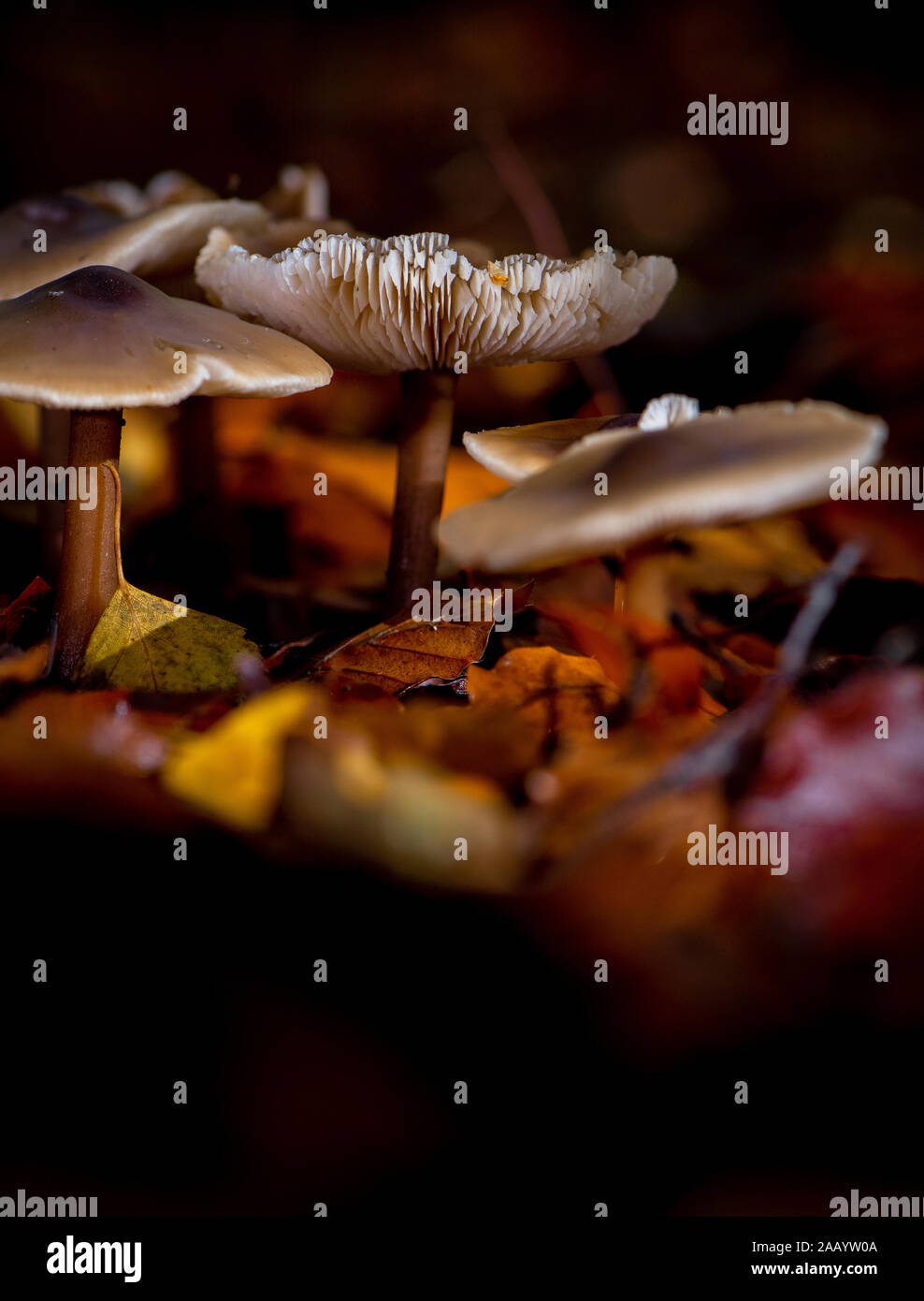 La mantequilla, tapa de Rhodocollybia butyraceae hongo que crece entre las hojas de otoño dentro de un grupo de macros de cierre e iluminada con flash mostrando los detalles. Foto de stock