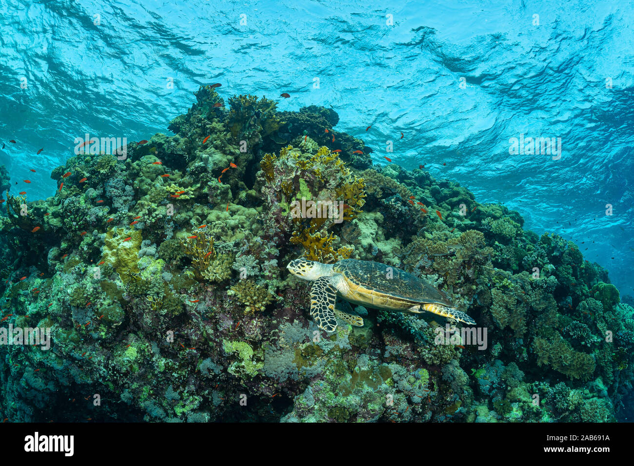 Alimentación de las tortugas verdes en un arrecife en el Mar Rojo. Foto de stock