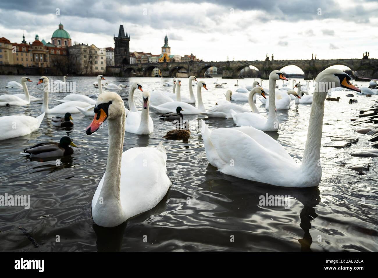 Los cisnes se reúnen en las orillas del río Vltava con el Puente de Carlos, en el fondo, Praga, República Checa, Europa Foto de stock