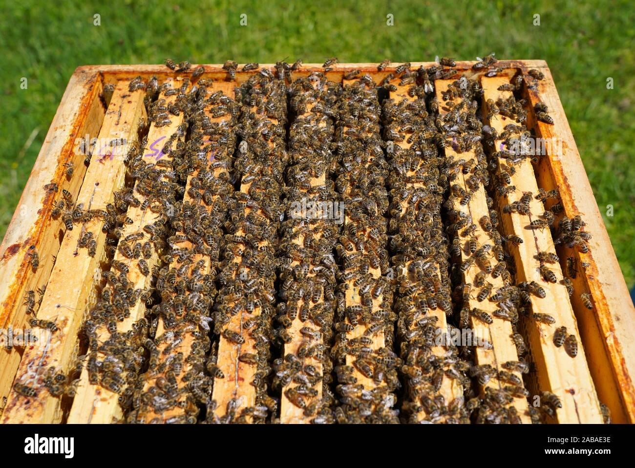 Las abejas de miel, Carniolan Santa Giustina, Belluno, Italia, Europa Foto de stock