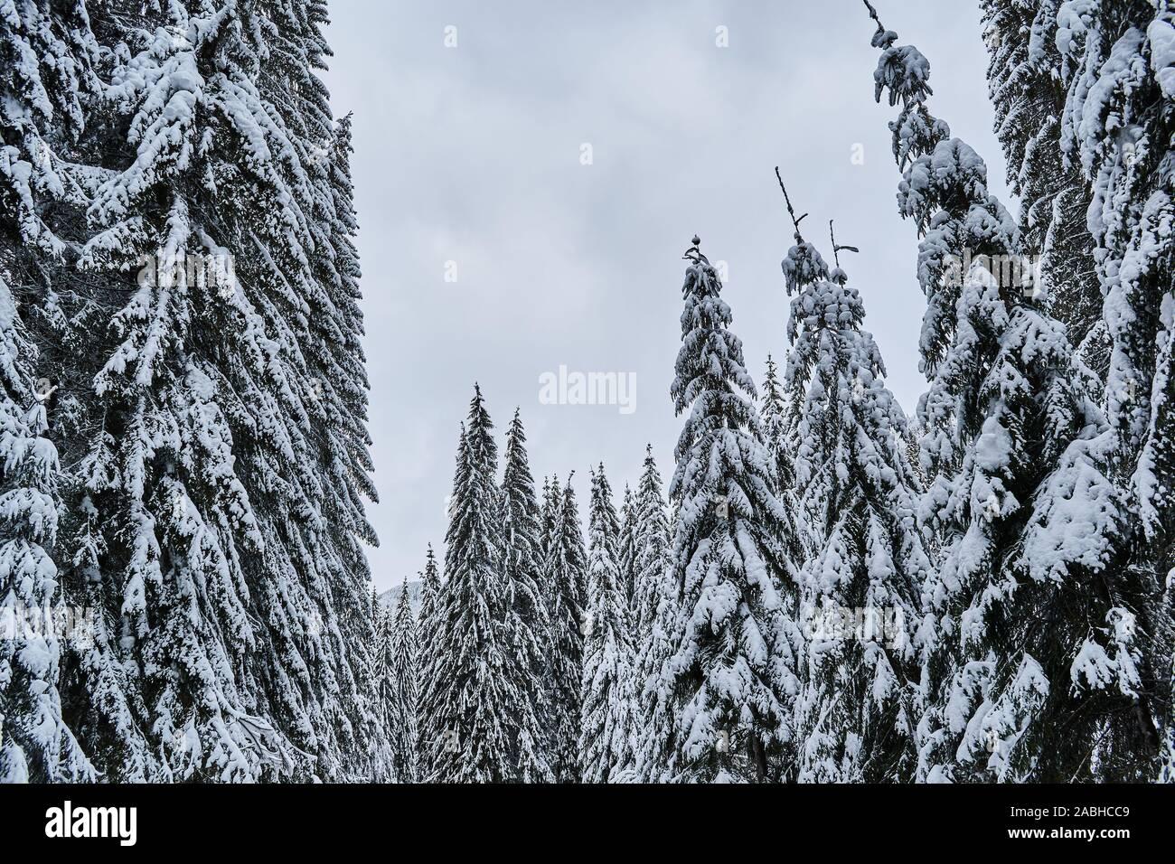 Los abetos cubiertos de nieve y el cielo Foto de stock