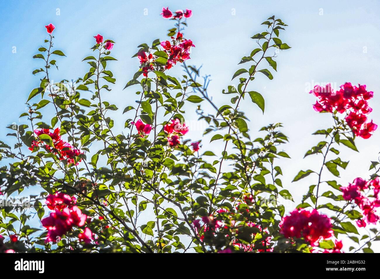 Bugambilia flores. flores de bugambilia. Álamos, Sonora, México, un lugar mágico y ciudad colonial. Este mexicano era conocido como villa real de Los Alamos o L Foto de stock
