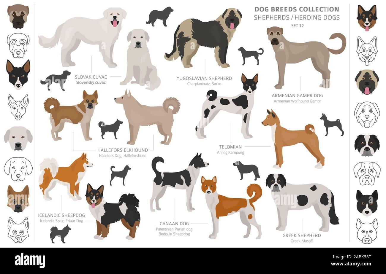 El pastor y los perros pastores colección aislado en blanco. Estilo plano. Color diferente y el país de origen. Ilustración vectorial Ilustración del Vector