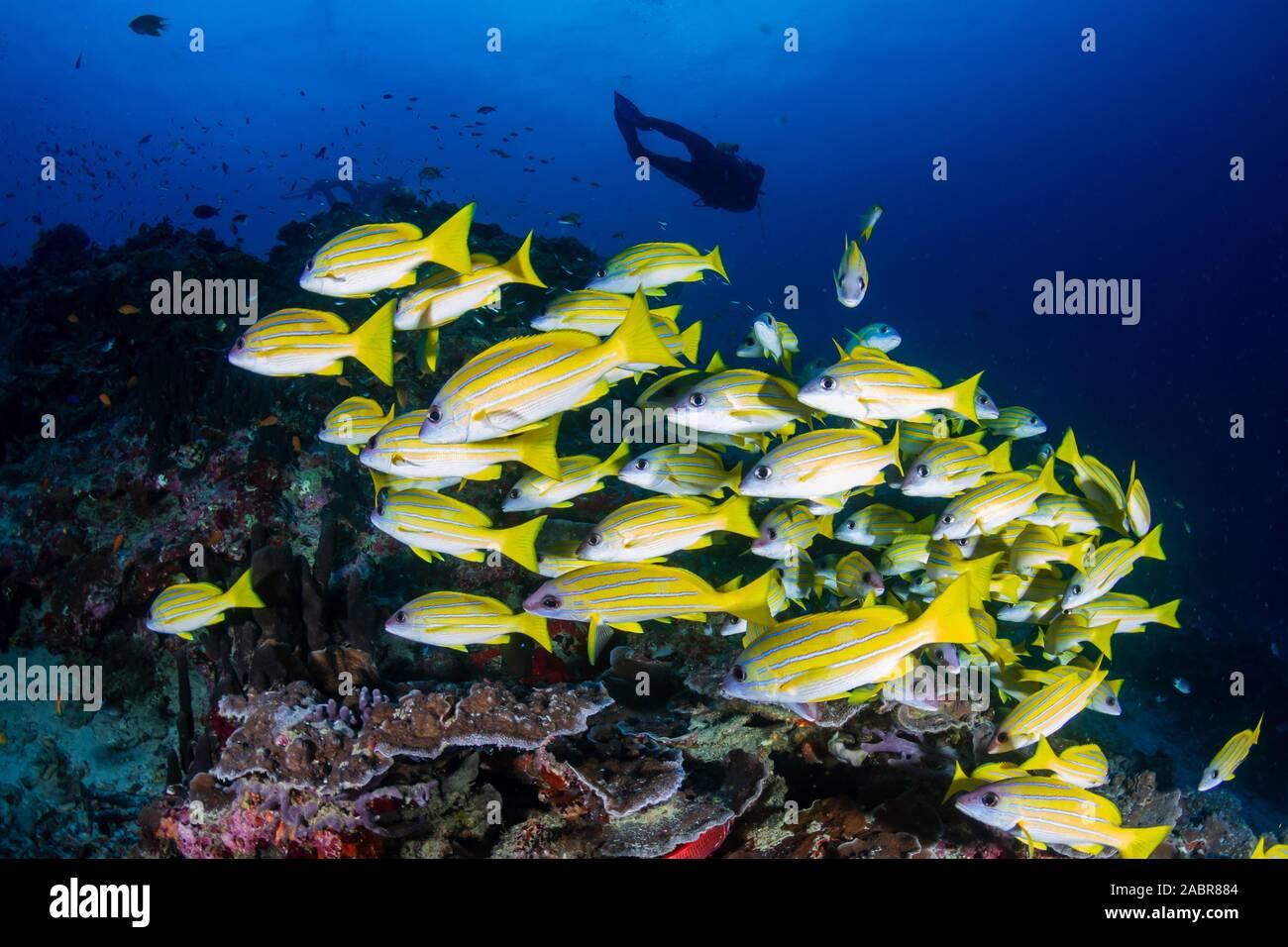 Los buceadores en un colorido arrecife de coral tropical en Tailandia Foto de stock