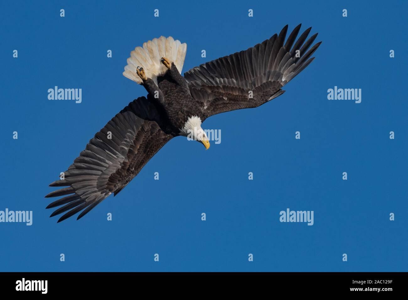 El águila calva volando en el cielo Foto de stock