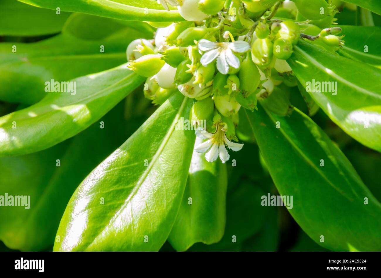 Naupaka kahakai es mitad flor encontrada cerca de la playa, que en la leyenda hawaiana representa la separación de dos amantes. Otra especie de la misma planta Foto de stock