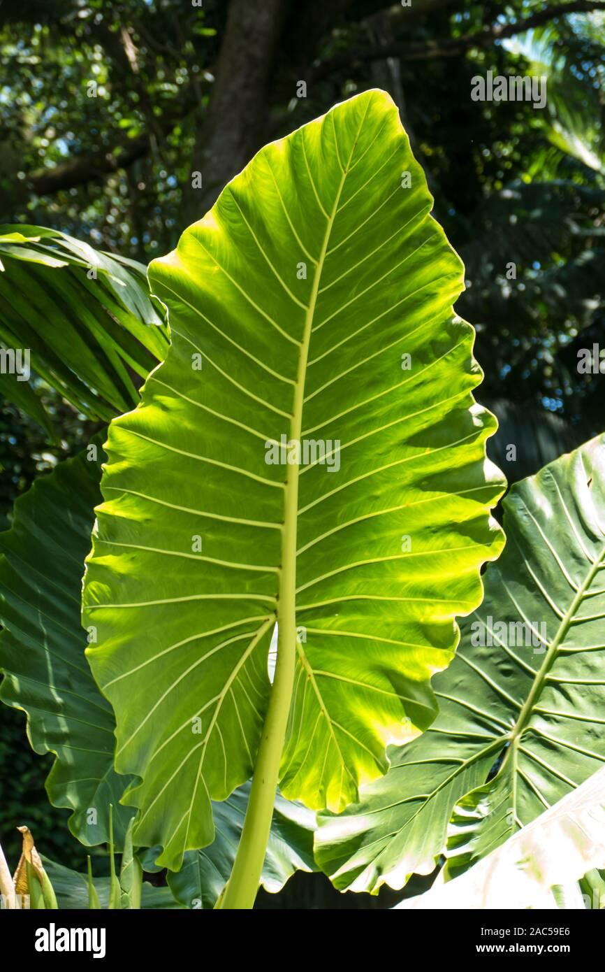 Grandes hojas de oreja de elefante, o 'ape, en Hawaii jardín botánico tropical cerca de Bahía Onomea en Papa'ikou cerca de hilo, la Isla Grande de Hawai'i. Foto de stock
