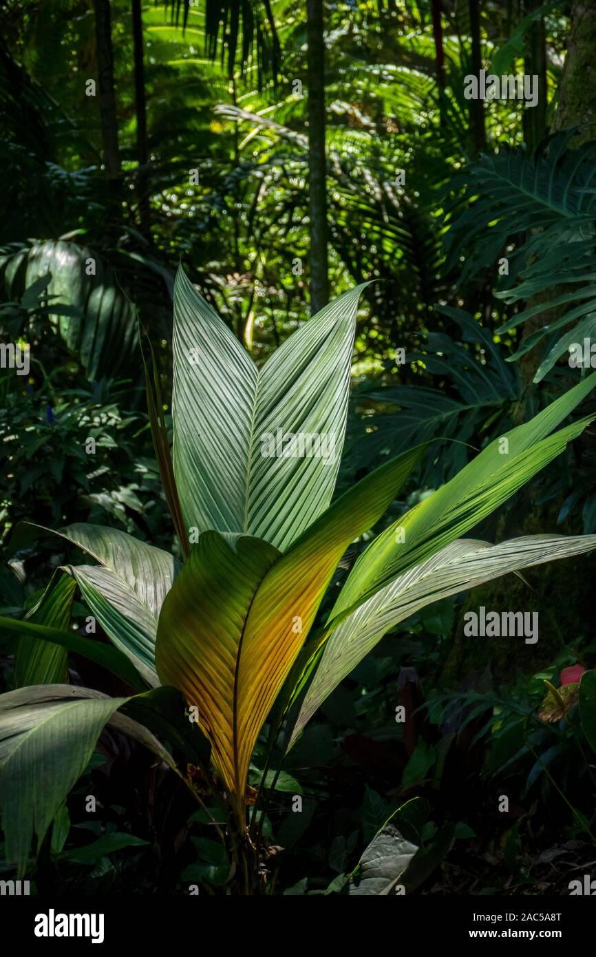 Las plantas al sol en el jardín botánico tropical en Hawai cerca de Bahía Onomea en Papa'ikou cerca de hilo, la Isla Grande de Hawai'i. Foto de stock