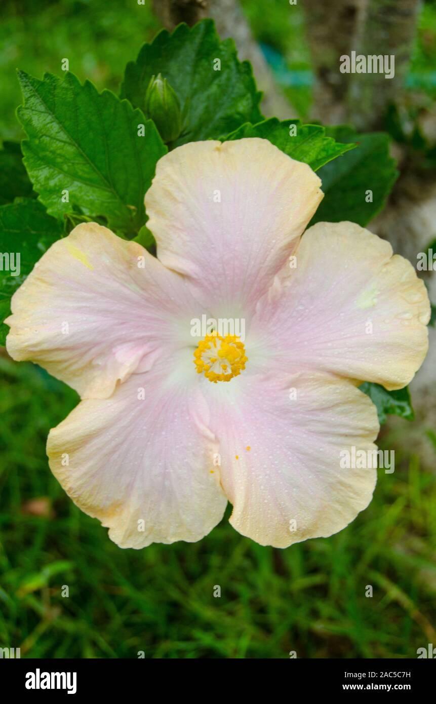 Hibiscus rosa y amarillo, Isla Grande Foto de stock