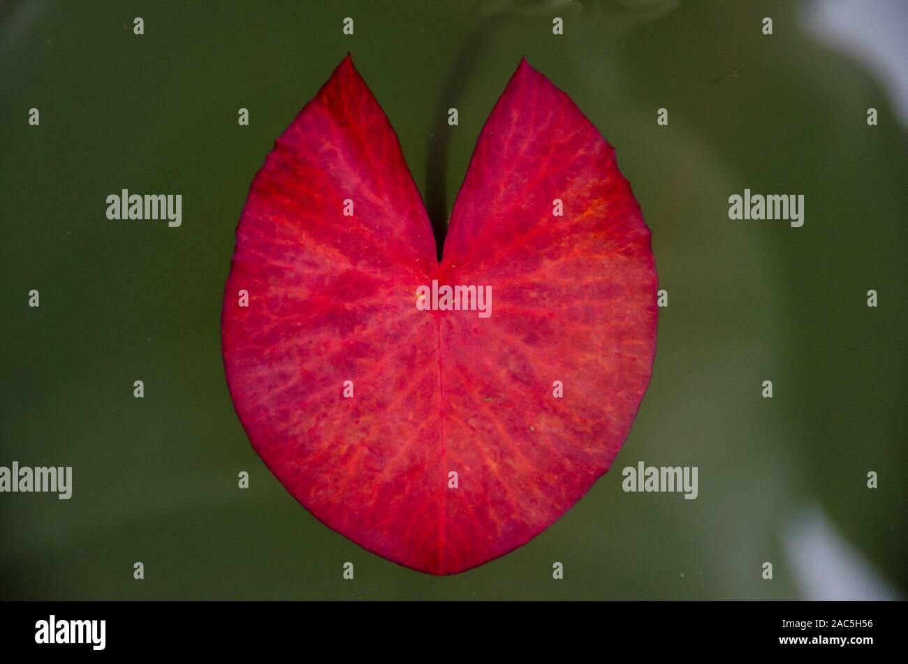 Un detalle de una flor de loto rojo hojas flotando en el agua, Isla Grande. Foto de stock