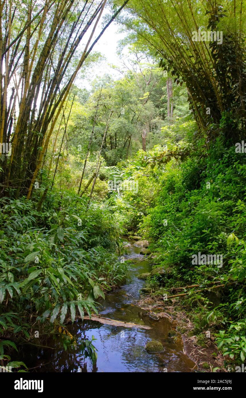 Una secuencia se ejecuta a través de la 'Akaka Falls State Park, enmarcado por el bambú y exuberantes plantas verdes, Honomu, Isla Grande. Foto de stock