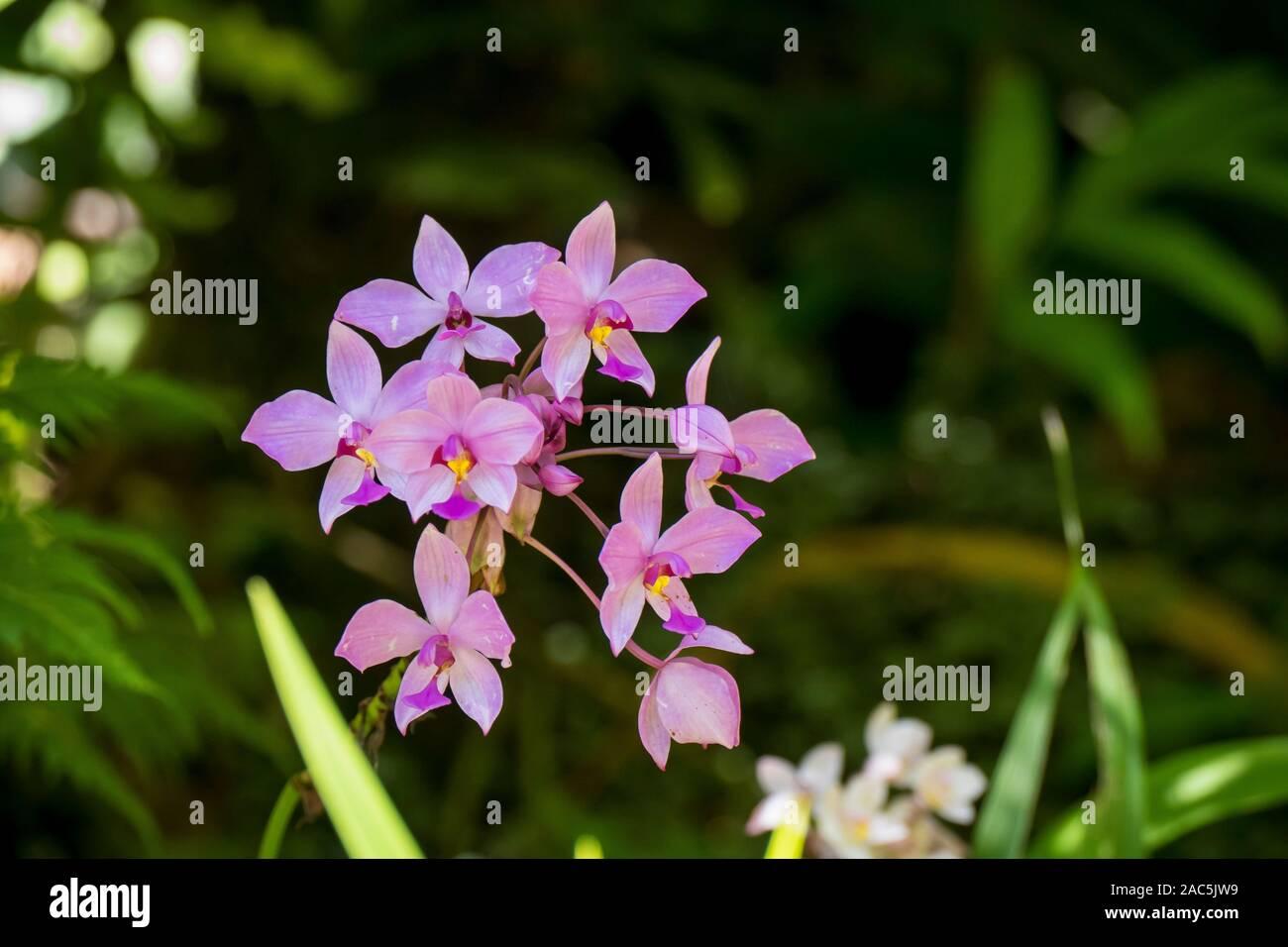 Delicadas orquídeas en Hawai jardín botánico tropical cerca de Bahía Onomea en Papa'ikou cerca de hilo, la Isla Grande de Hawai'i. Foto de stock