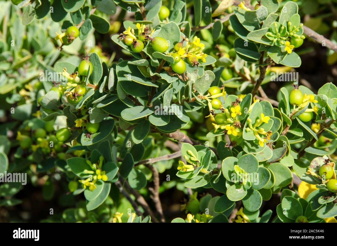 """Los nativos de Hawai """"akia planta es macho o hembra. Las plantas hembra, después de la floración, produce frutos redondos atractivos que son de color amarillo, naranja o Foto de stock"""