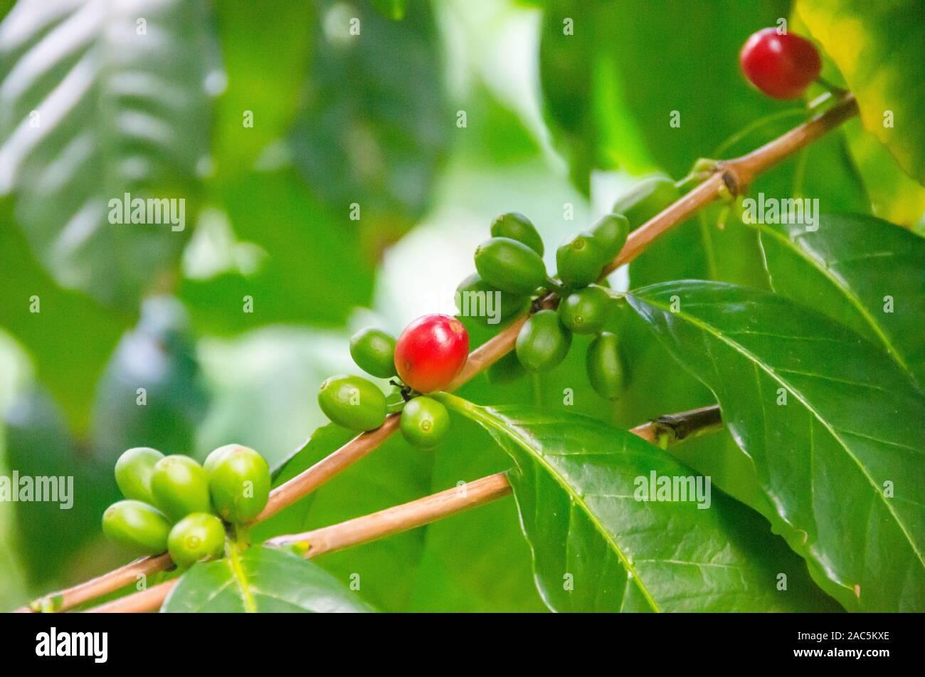 Las cerezas de café verde y rojo a Kaleo Koffee del huerto en Pa'auilo makua en la Isla Grande. Foto de stock