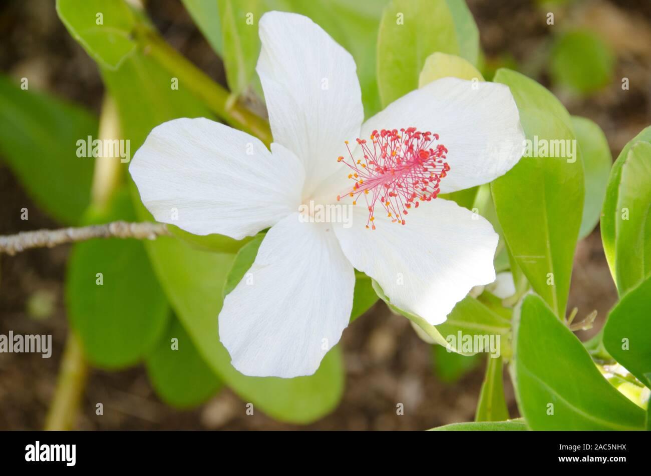 Los nativos de Hawai koki'o'o ke ke'o es el blanco hibiscus encontrados en O'ahu y Moloka'i. También es conocido como pua aloalo en hawaiano. Foto de stock