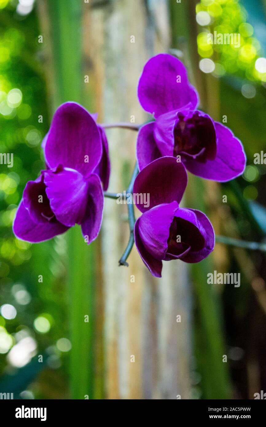 Un close-up de deep purple las orquídeas en el jardín botánico tropical de Hawaii, Papa'ikou, Isla Grande de Hawaiʻi. Foto de stock