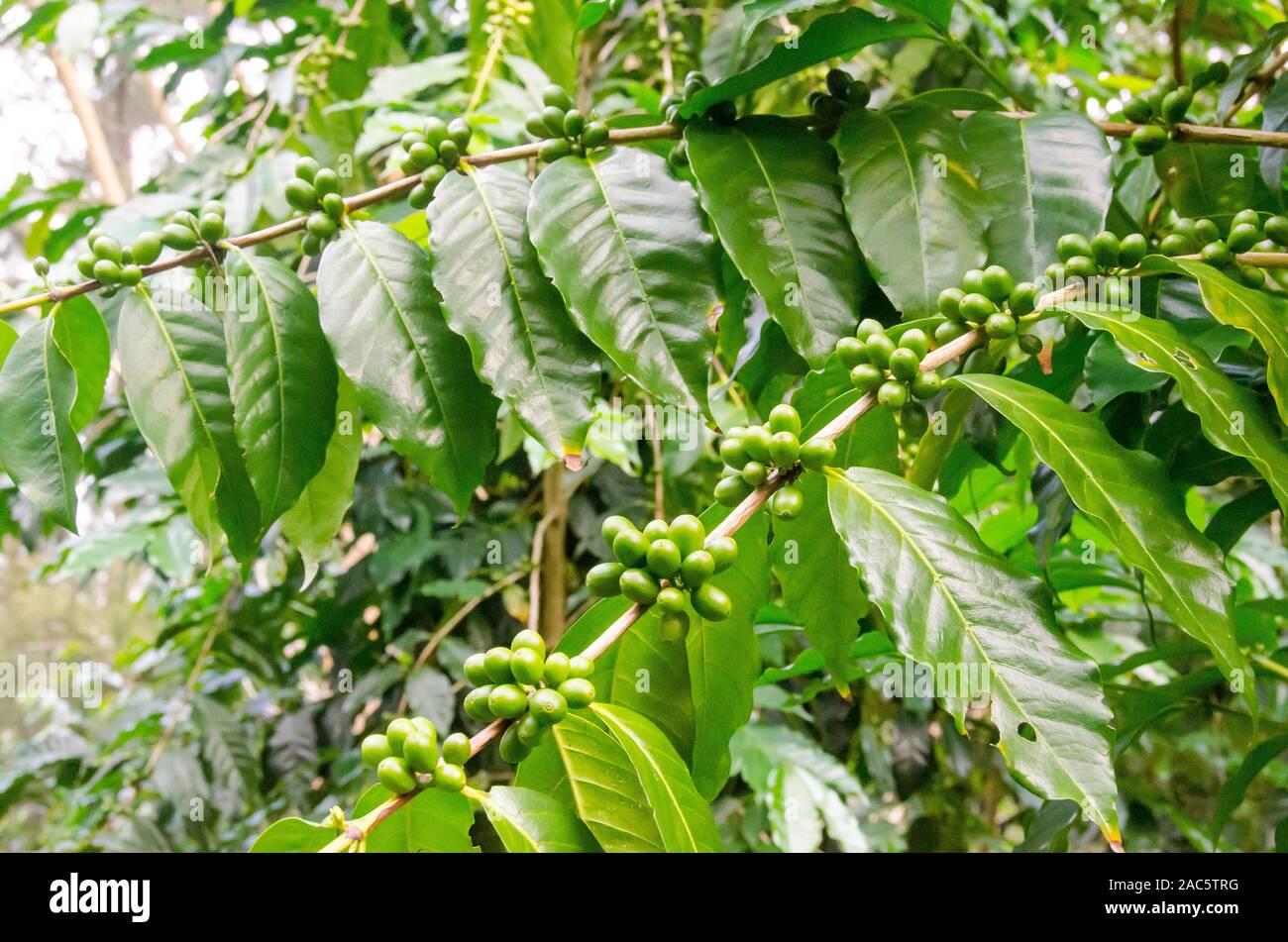 Las cerezas de café verde en la huerta Koffee Kaleo en Pa'auilo makua en la Isla Grande. Foto de stock