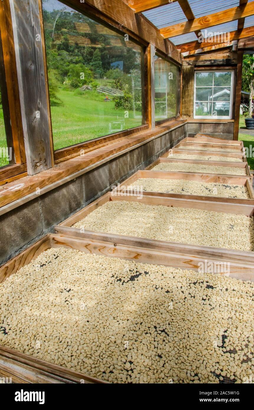 Los granos de café crudo en paletas de secado al sol, de Kaleo Koffee, Pua'a Kea Farm, Pa'auilo, área de Hamakua, Isla Grande. Foto de stock