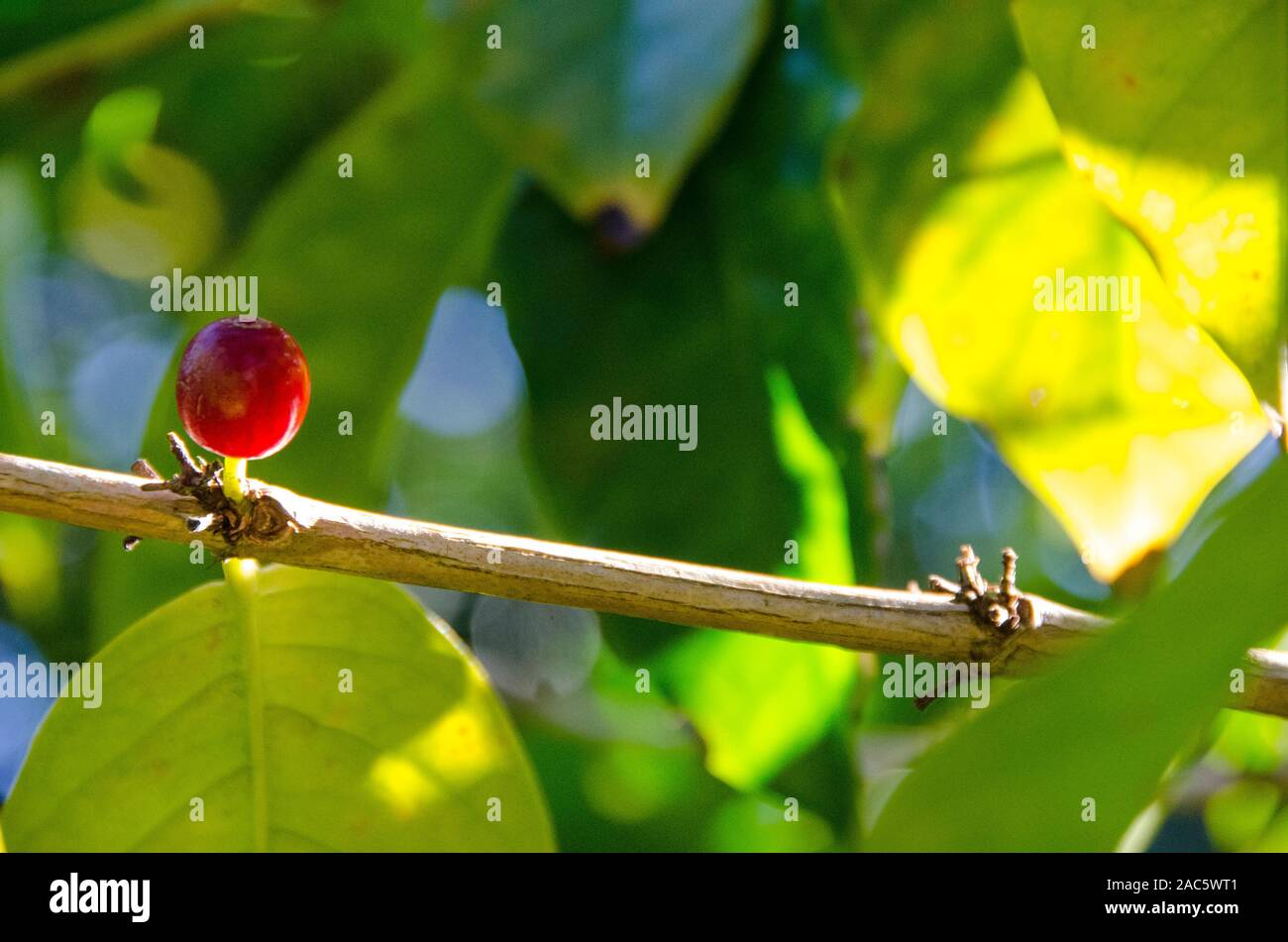 Close-up de un color rojo cereza de café en los árboles del huerto Koffee Kaleo en Pa'auilo makua en la Isla Grande. Foto de stock