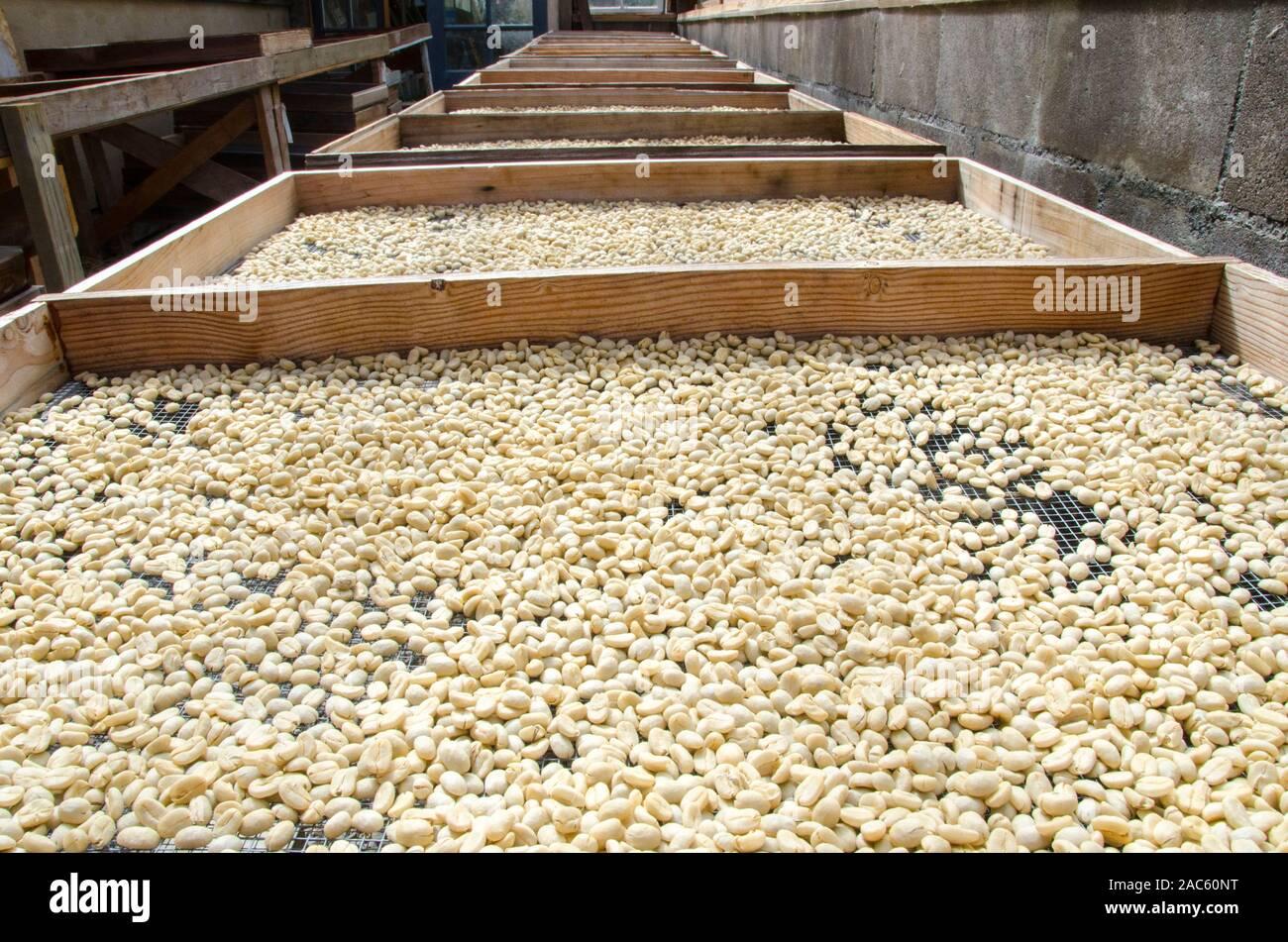 Los granos de café crudo en paletas de secado al sol, Pua'a Kea Farm, Pa'auilo, área de Hamakua, Isla Grande. Foto de stock