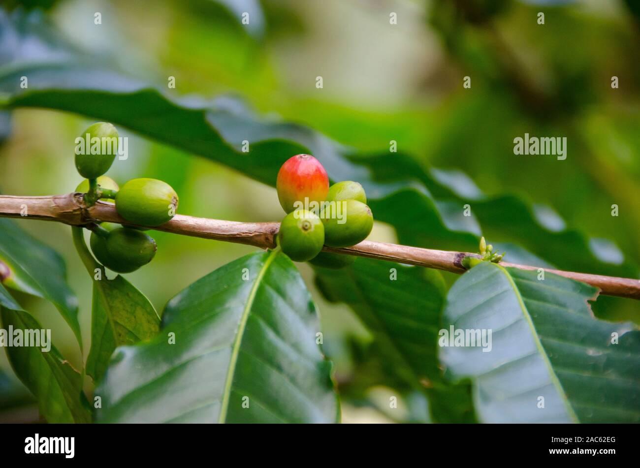 Las cerezas de café verde y rojo en el árbol del huerto Koffee Kaleo en Pa'auilo makua en la Isla Grande. Foto de stock