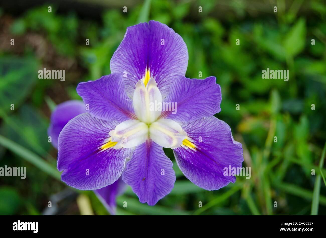 Una vista cercana de un púrpura Iris en plena floración en la Isla Grande. Foto de stock