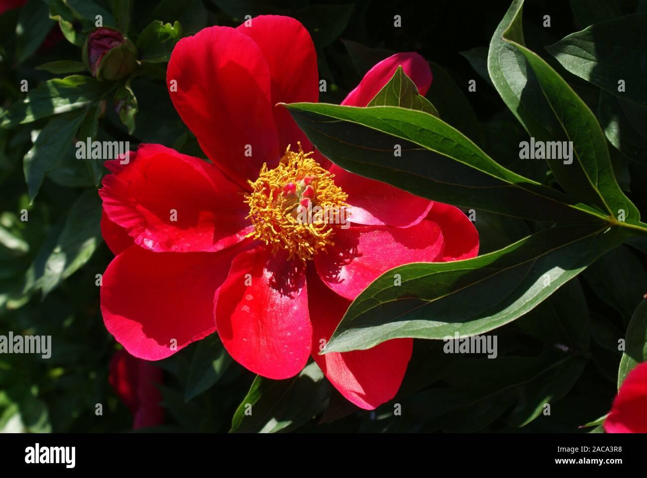 Paeonia peregrina romantica, Pfingstrose var. Foto de stock