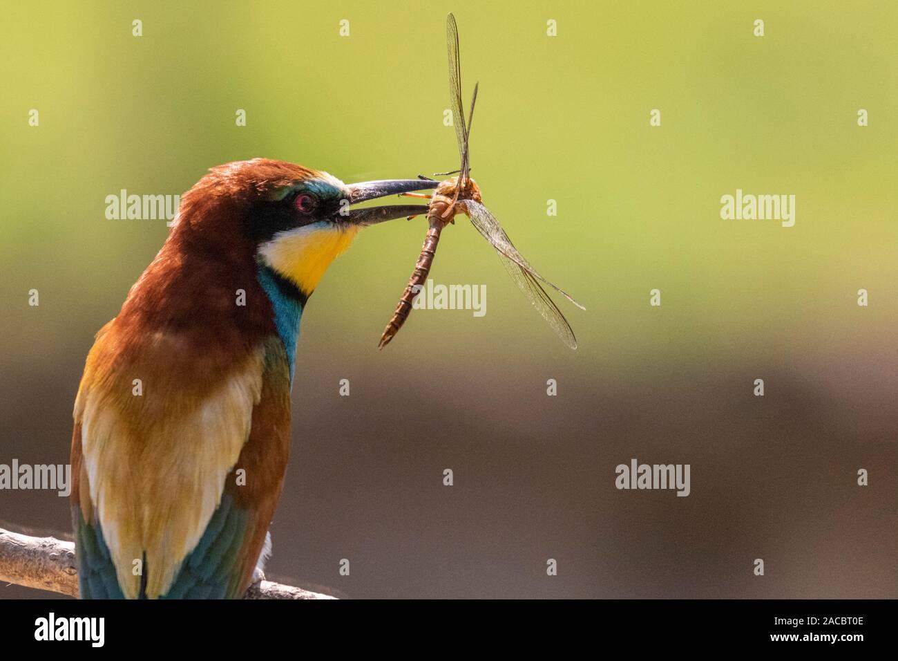 El Abejaruco Europeo, Merops apiaster, sentado en un palo con una libélula en su pico, de agradable y cálida luz matutina, Csongrad, Hungría Foto de stock