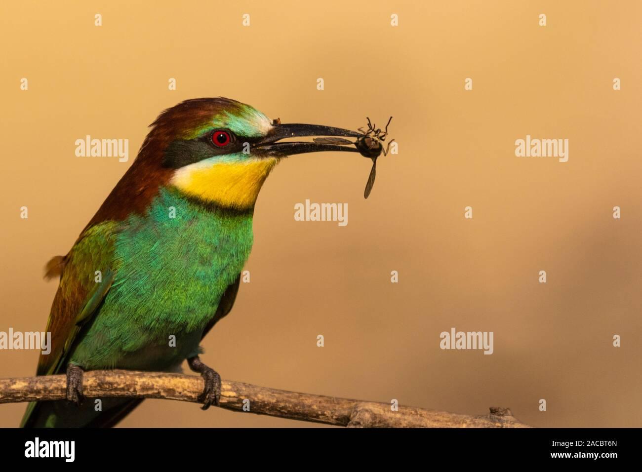 El Abejaruco Europeo, Merops apiaster, sentado en un palo con un insecto en su pico, de agradable y cálida luz matutina, Csongrad, Hungría Foto de stock