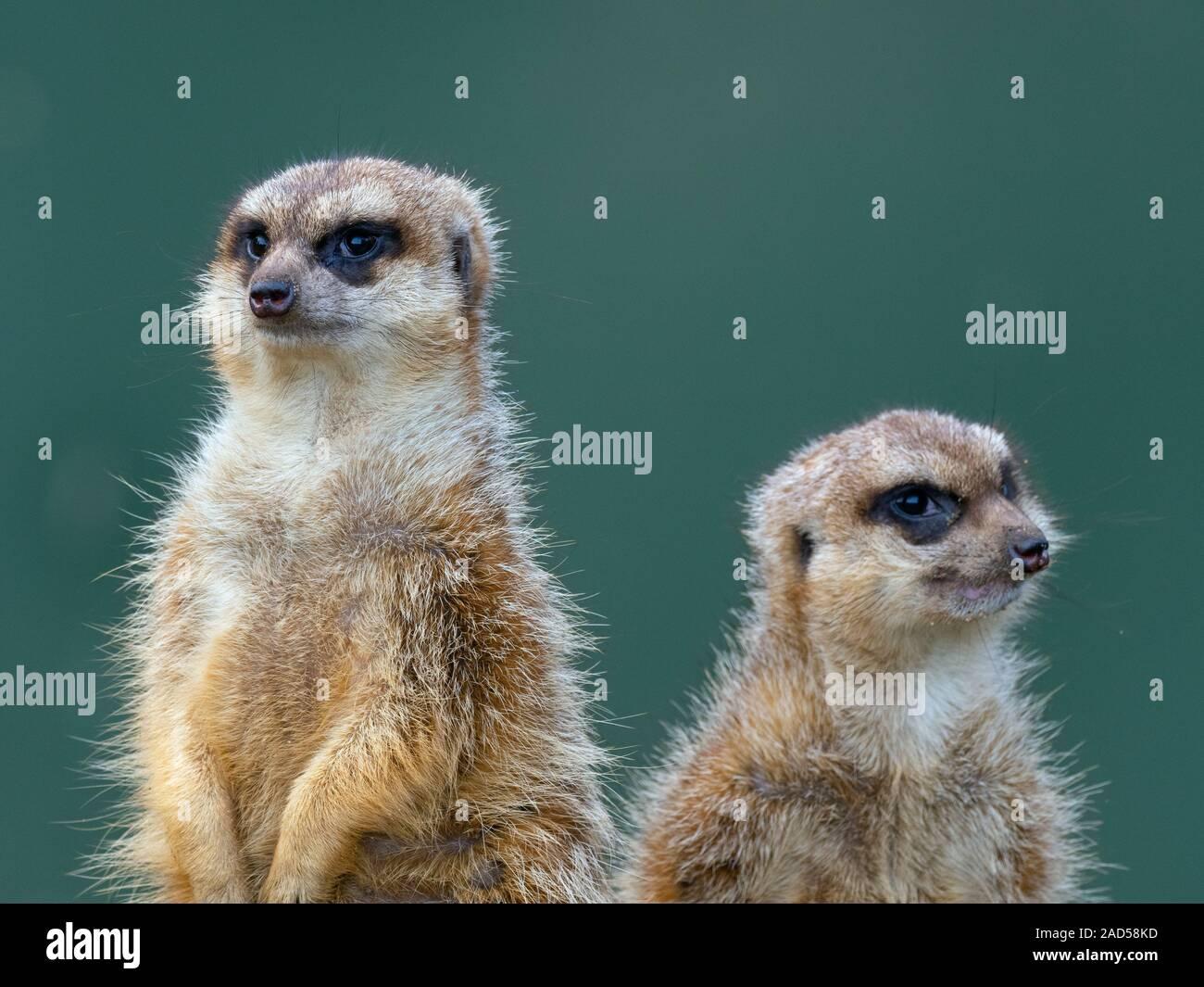 Meerkats o suricate Suricata suricatta Foto de stock