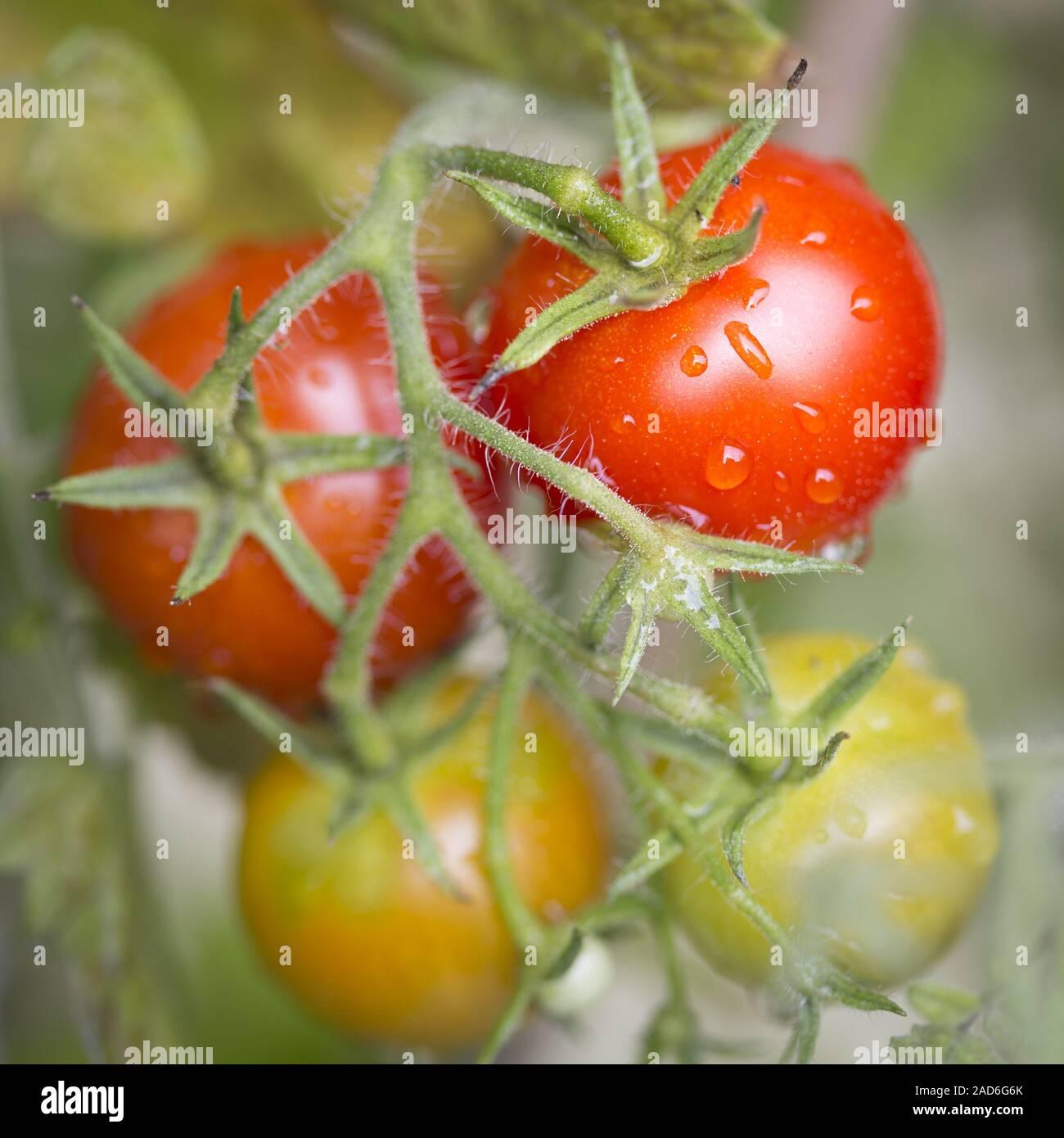 Tomates Cherry de arbusto, close-up, formato cuadrado Foto de stock