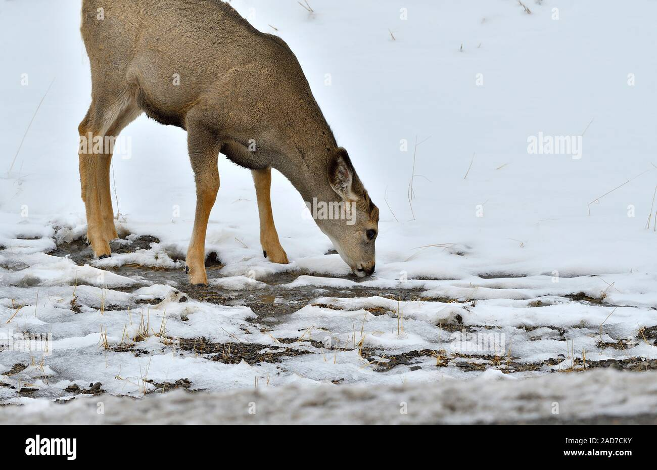 Una hembra de venado bura Odocoileus hemionus ''. beber un poco de agua de fusión al lado de una carretera en la zona rural de Alberta, Canadá Foto de stock