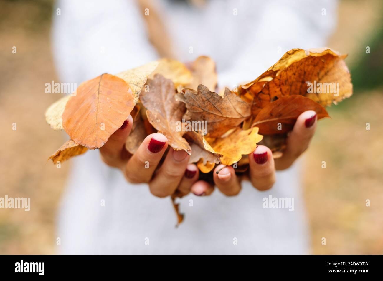 Cerrar, Mujer manos sosteniendo hojas de color naranja en el parque en otoño . Foto de stock