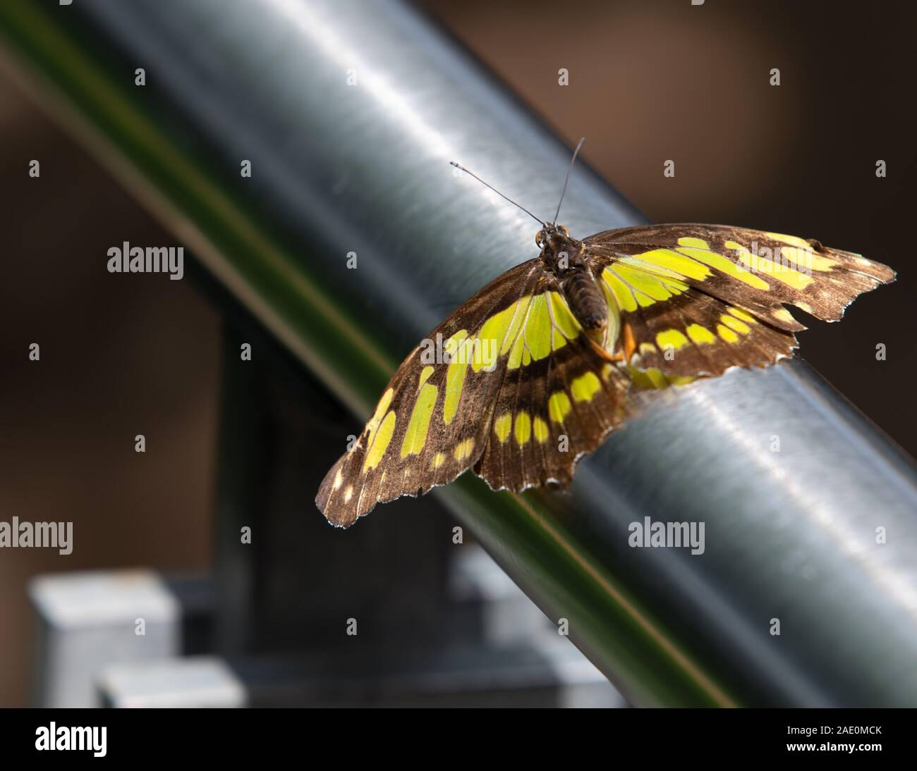 Mariposa de Malaquita Siproeta Stelenes Metal Foto de stock