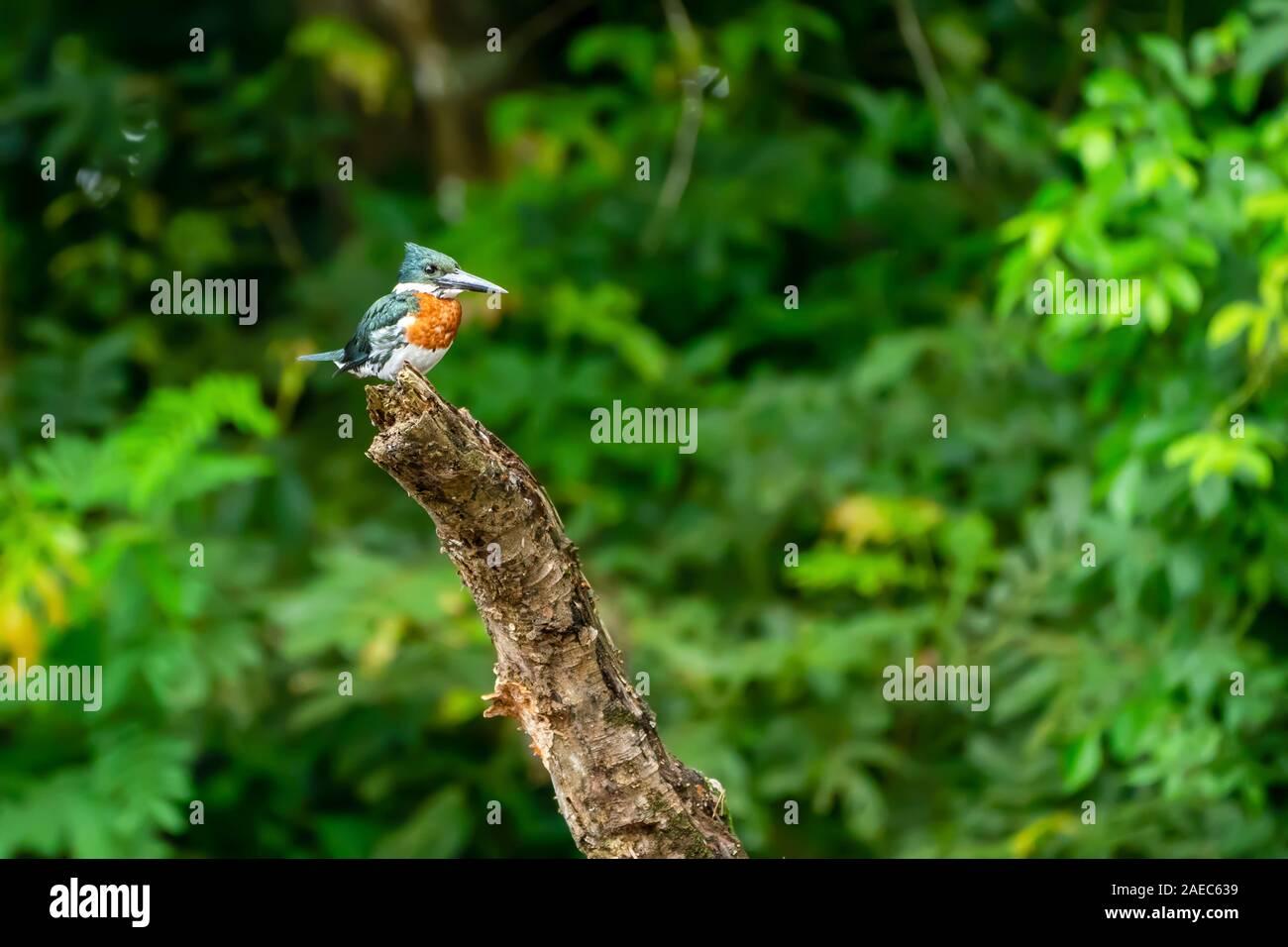 Martín pescador anillado (Megaceryle torquata) donde se posan en un árbol. Este kingfisher habita humedales en Sudamérica, donde se posan encima de lagos y lento r Foto de stock