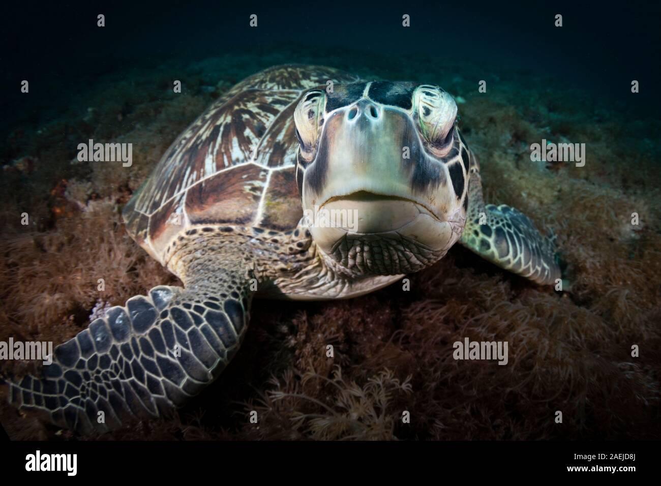 Una tortuga verde hermoso y amenazadas tortugas verdes (Chelonia mydas - tomar refugio en las cálidas aguas del Parque Nacional Marino de Komodo en Indonesia. Foto de stock