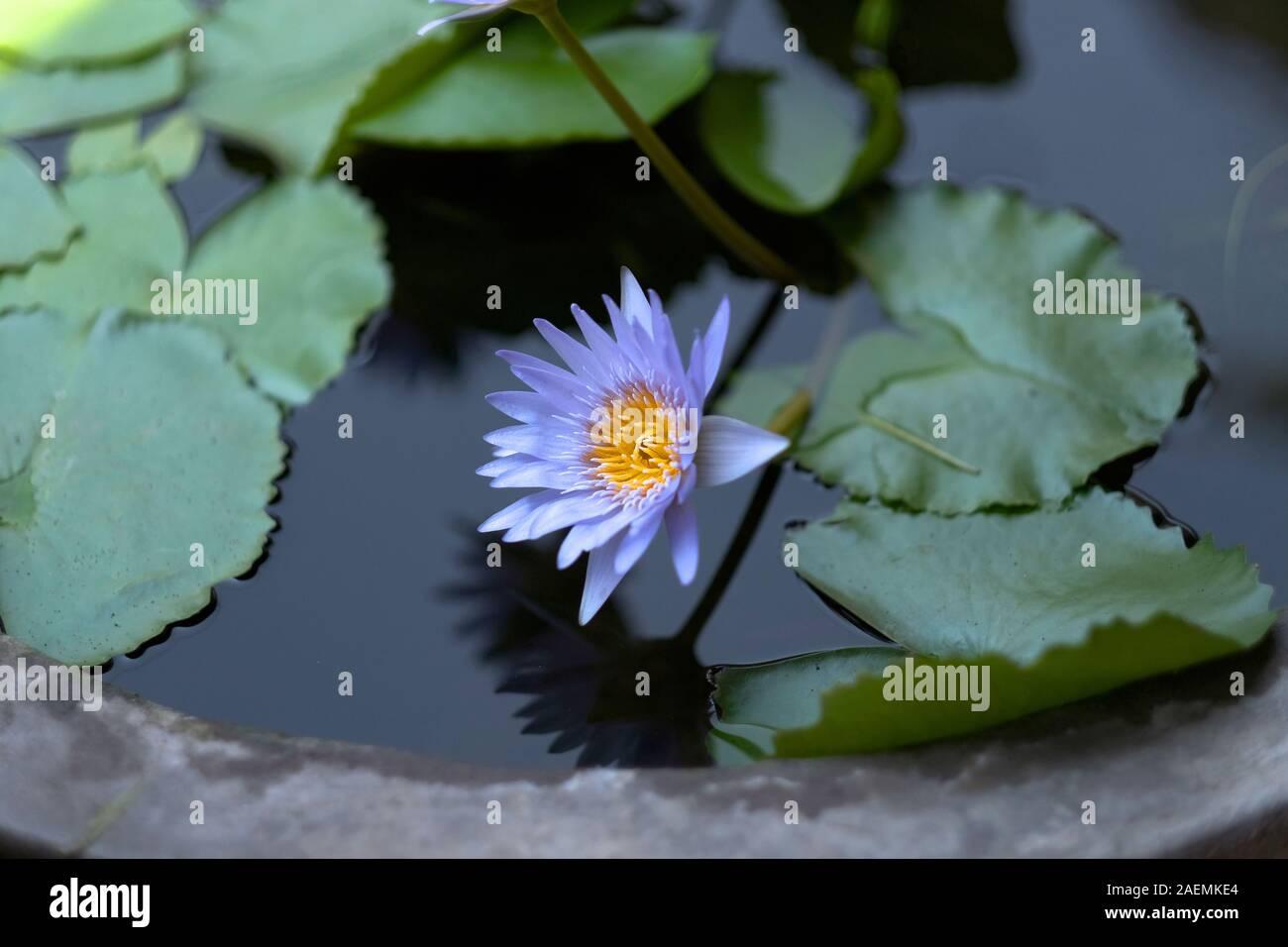 Lirio de agua con pétalos de color azul y un núcleo de color amarillo en la superficie del agua Foto de stock