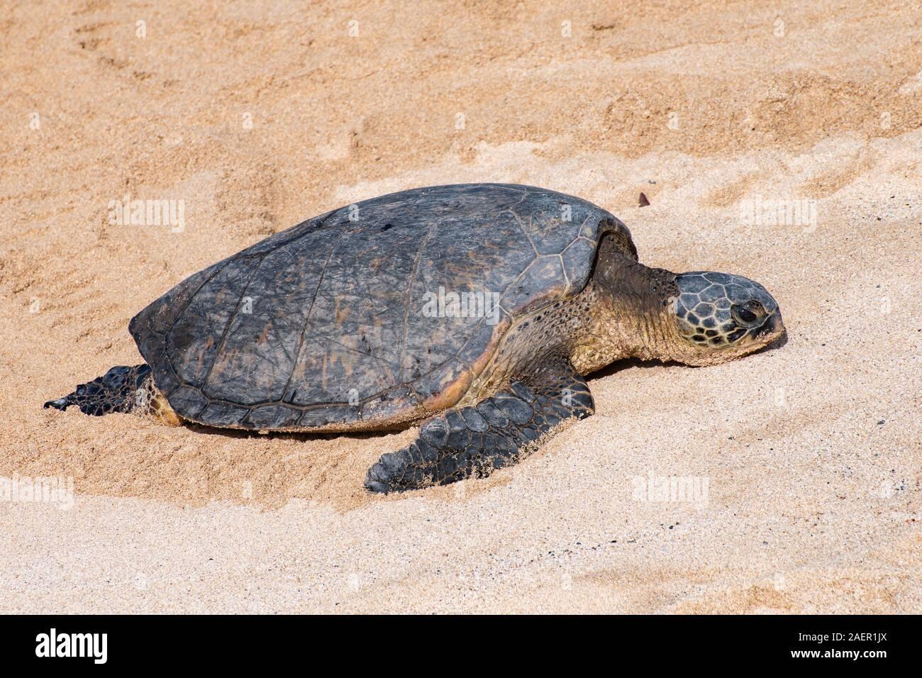 Cerca de una tortuga de mar verde en las doradas arenas de Hawai Foto de stock