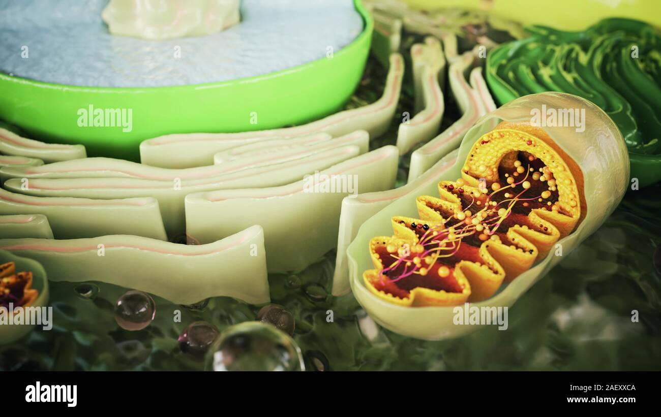 Mitocondrias en un organismo celular - 3D Renderización Foto de stock