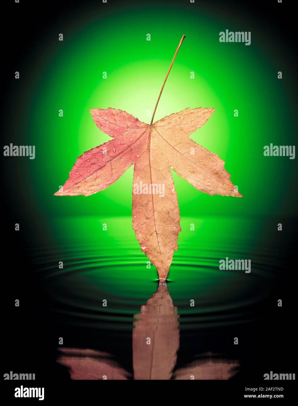 Still life montage concepto de otoño Maple Leaf sobre el agua. Foto de stock