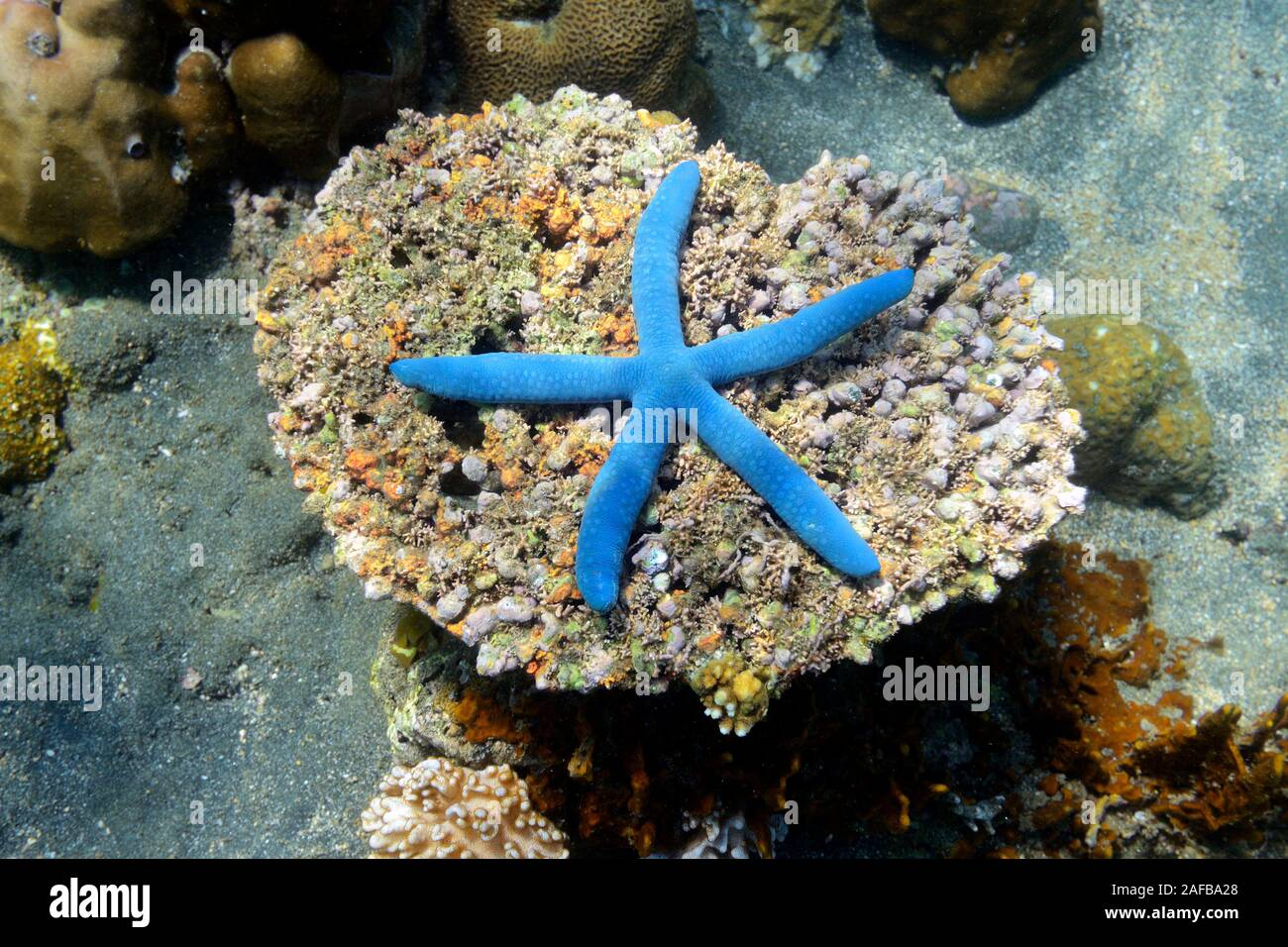 Blauer Seestern (Linckia laevigata), Nordbali, Bali, Indonesien Foto de stock